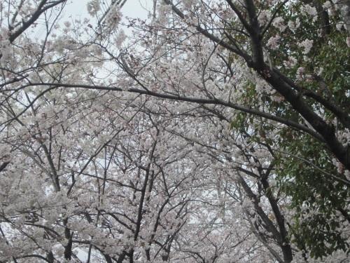 IMG_4498 26日ソメイヨシノ.jpg