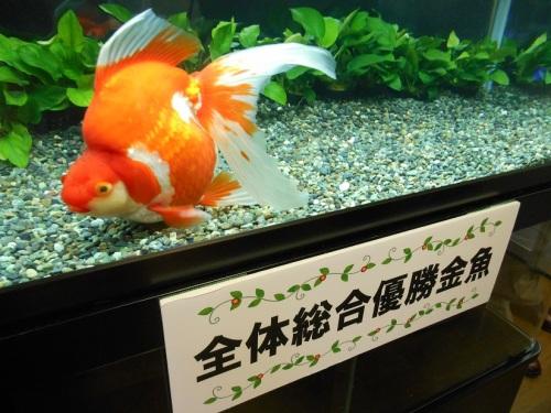 金魚フェア総合優勝の琉金