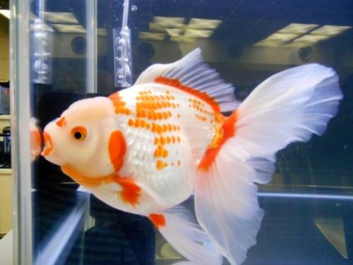 立派な金魚