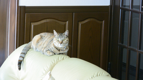 ソファの上に陣取る猫