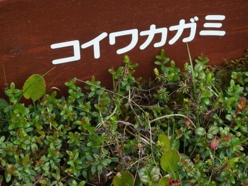 koiwakagami.JPG