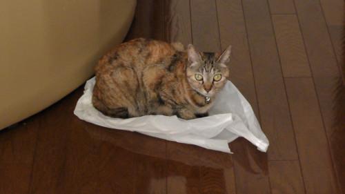 ビニール袋の上に乗る猫