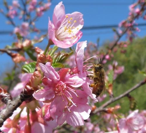 河津桜18031702.jpg