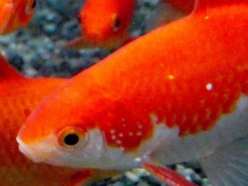 金魚の追星