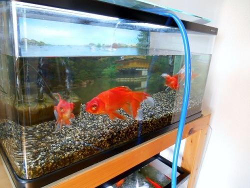 金魚水槽の水替え