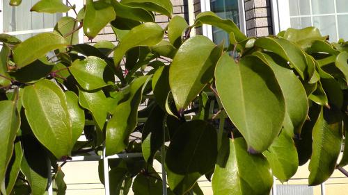 冬のムベの葉