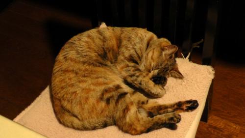 眠るキジトラ猫