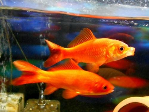 金魚のくちばし