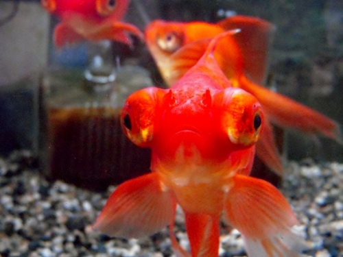 金魚の胸びれ