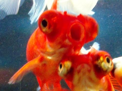 金魚のボディーブロー