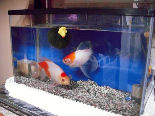 60cm水槽で金魚飼育