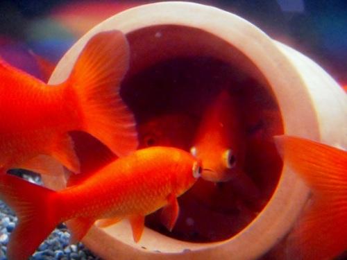 金魚と蛸壺