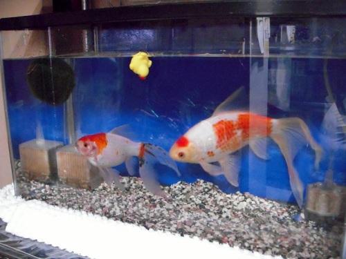 金魚とマリモの水槽