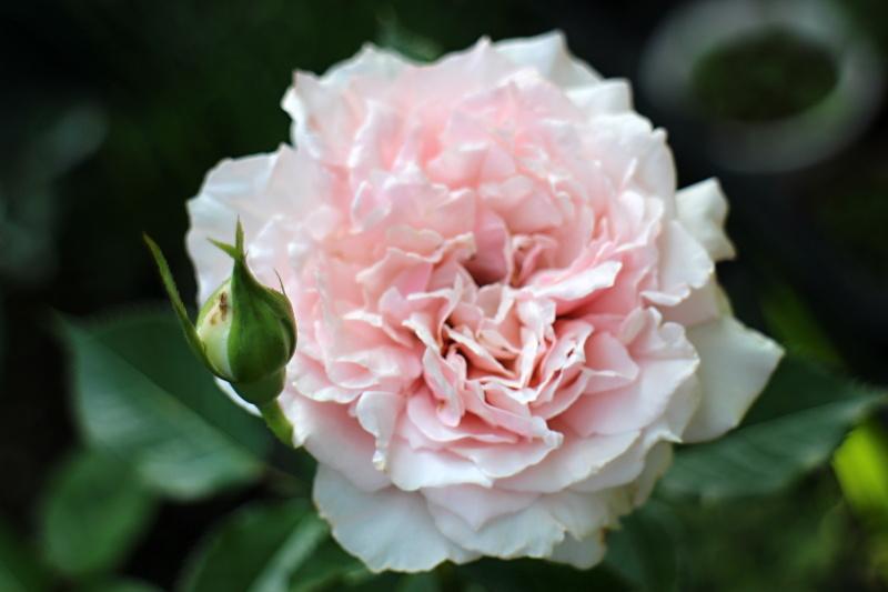 エウリディーチェ | バラと可愛...