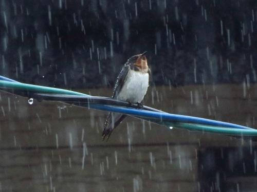 ツバメ雨浴び_5162.jpg