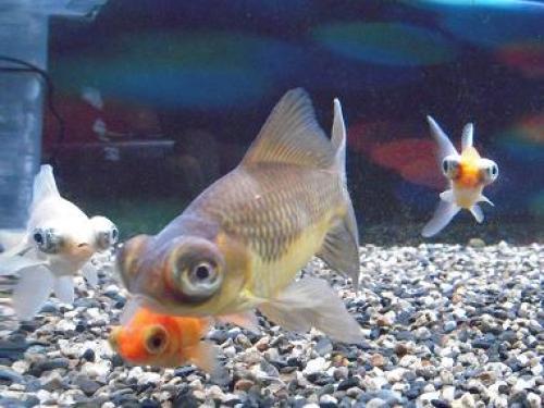出目金の成長記録   出目金魚ぶろぐ - 楽天ブログ