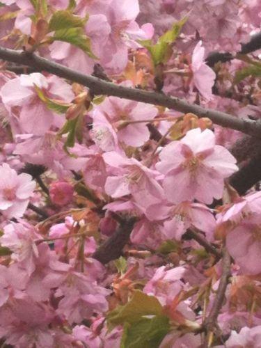 桜20120325_2.JPG