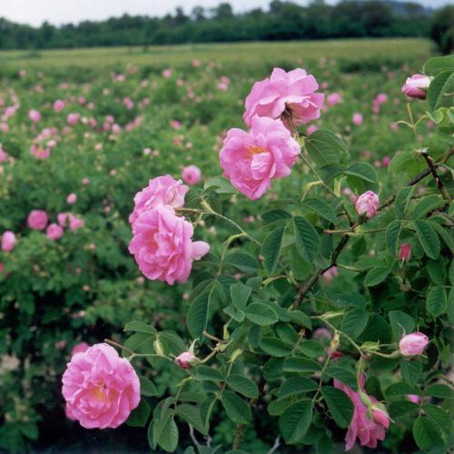 bulgarische_rose.jpg