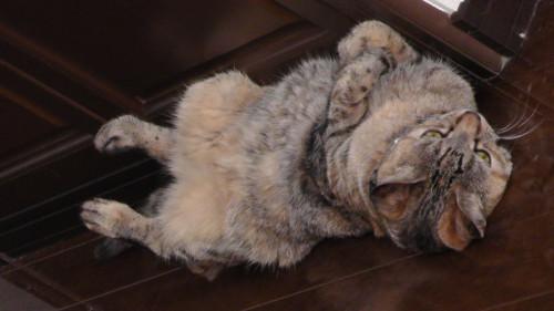 仰向けに寝ている猫