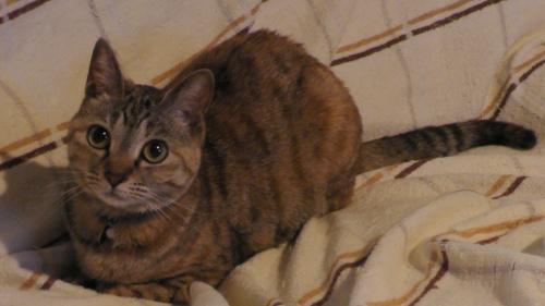 毛並みがサラサラの猫