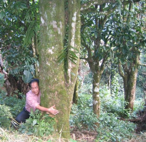 ベトナム北部大茶樹1.jpg