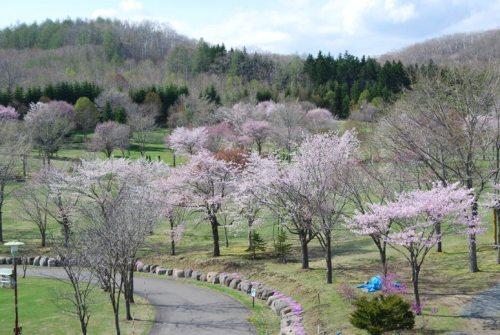 阿寒町の桜.JPG