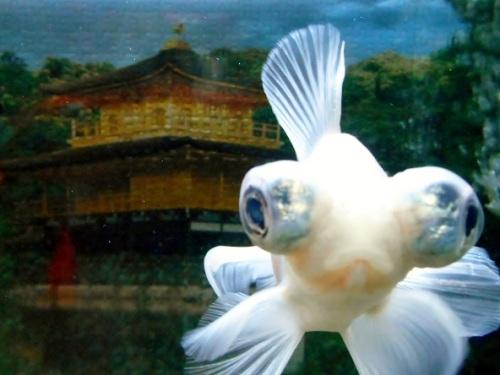 金閣寺と白金魚