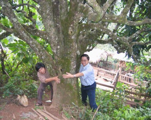 ベトナム北部大茶樹3.jpg