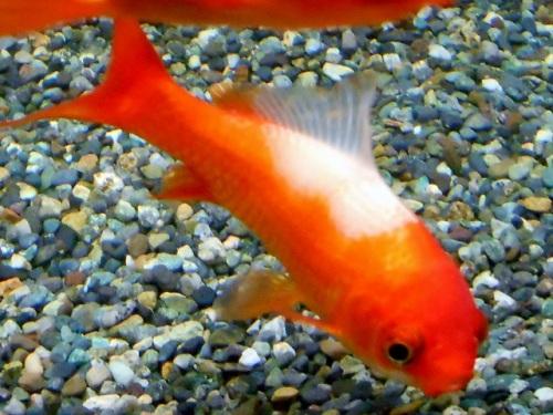 背中の煤けた金魚