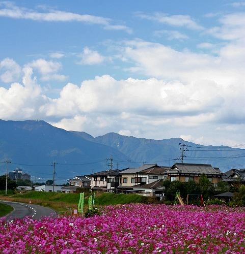 1-_13今浜コスモス (1).jpg