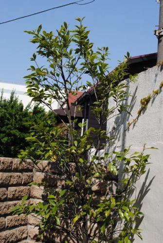 20140408玄関の新しい木(カラタネ・オガタマ)2.jpg