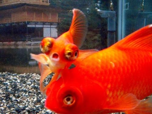 転がされる金魚