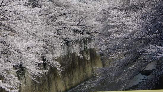 2013神田川の桜1.JPG