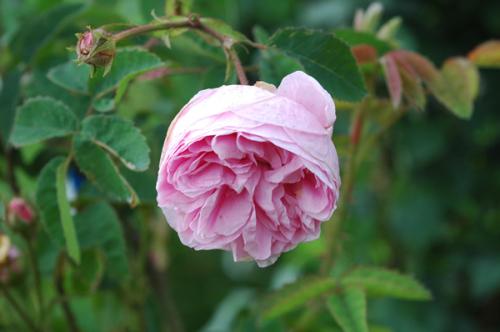 rosa_centifolia.jpg