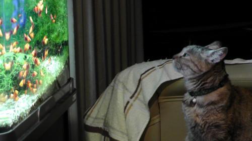 熱帯魚を愛でる猫