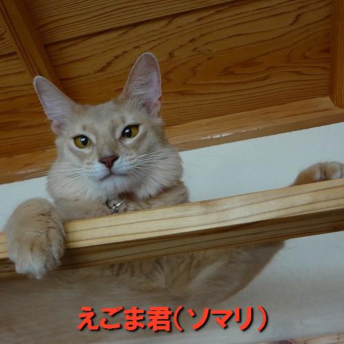 えごま君(ソマリ).jpg