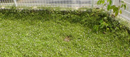 庭を覆い、擁壁を越えるイワダレソウ