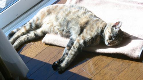 日向ぼっこで乾燥する猫