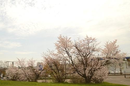 2014_05_12_丸山公園と役場の桜_066.JPG