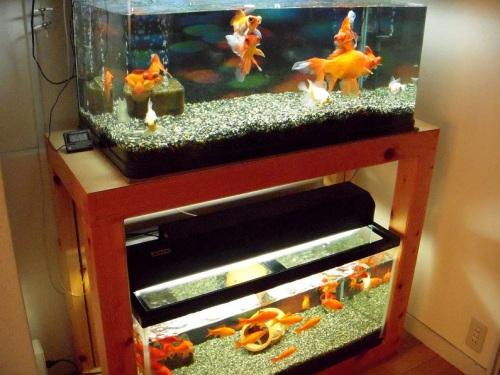 春の金魚水槽