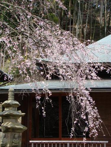 東慶寺・枝垂桜