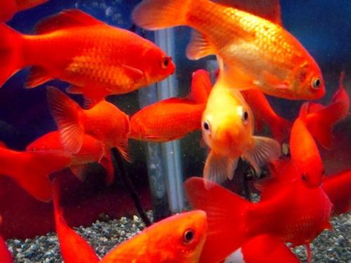 カメラに気づいた金魚さん