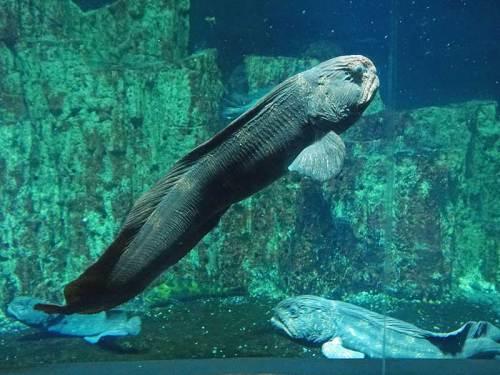 小樽水族館f170422オオカミウオ.jpg