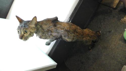 入浴後の猫