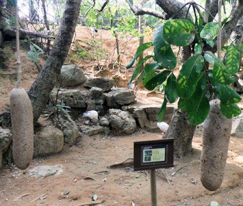 沖縄29ソーセージの木.JPG
