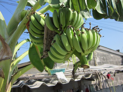 IMG_3881庭のバナナ.jpg