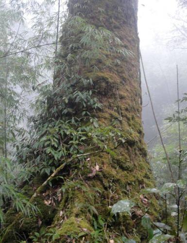 ベトナム北部大茶樹5.JPG