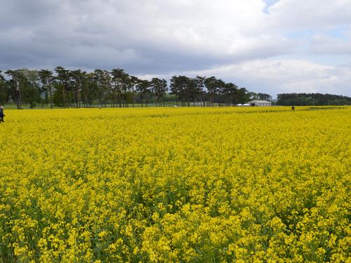 0518菜の花3.jpg
