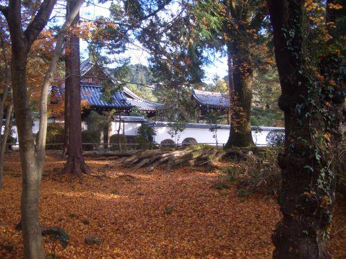 CIMG8722モミジのじゅうたんと木の根がすごい.JPG