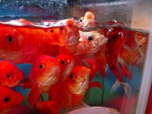 荒ぶる金魚